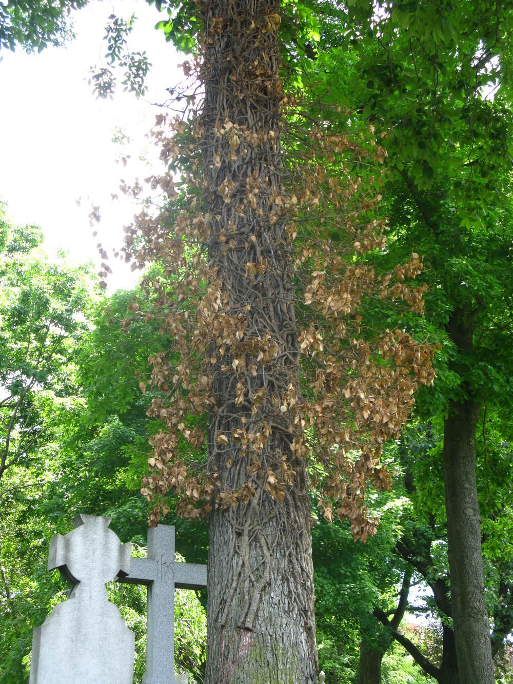 Toxicodendron radicansAnacardiaceae