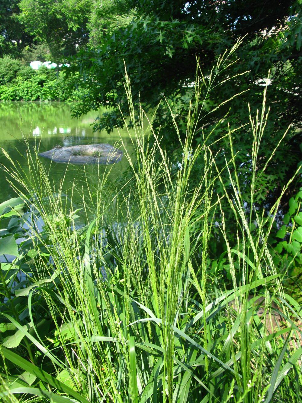 Panicum sp. Poaceae