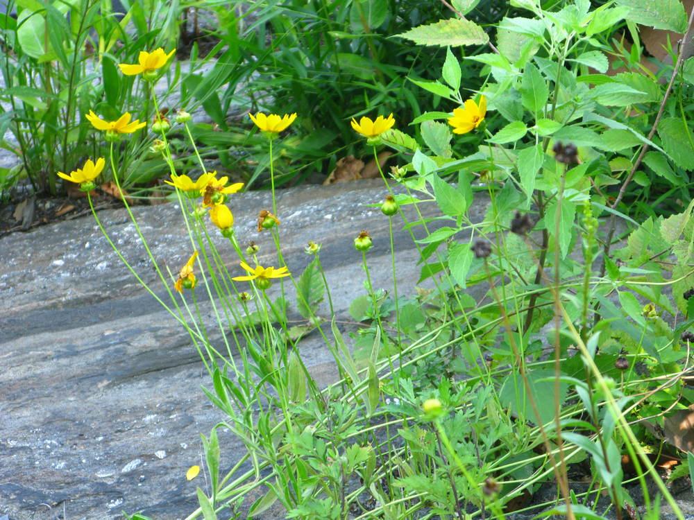 Coreopsis lanceolata Asteraceae