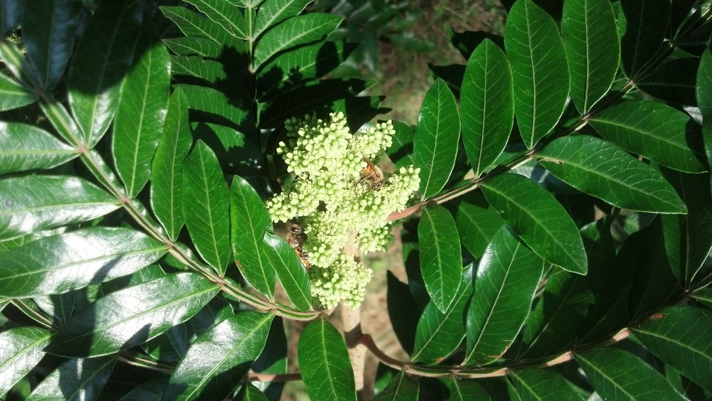 Rhus coppalinumAnacardiaceae