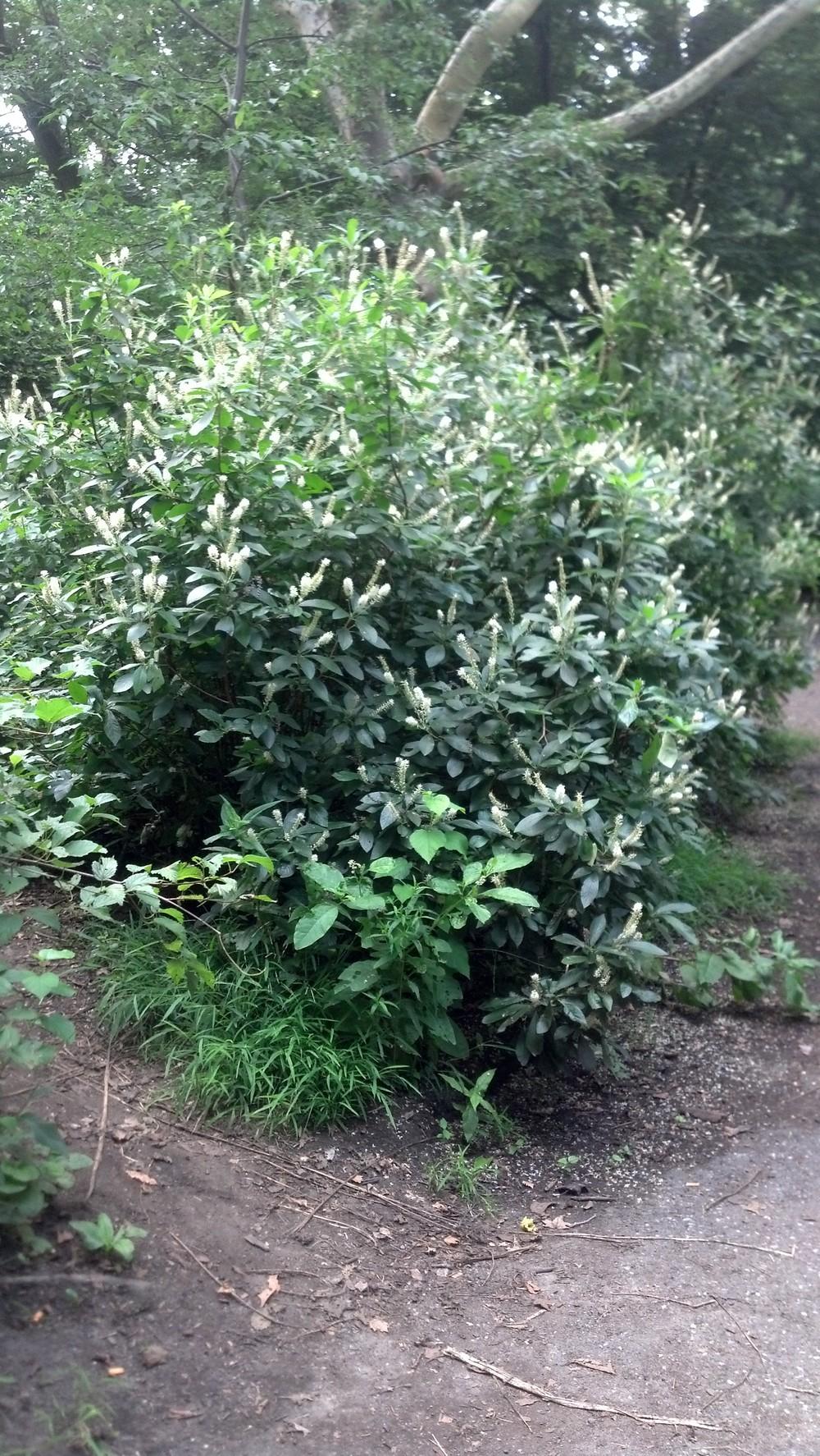 Clethra alnifolia Clethraceae
