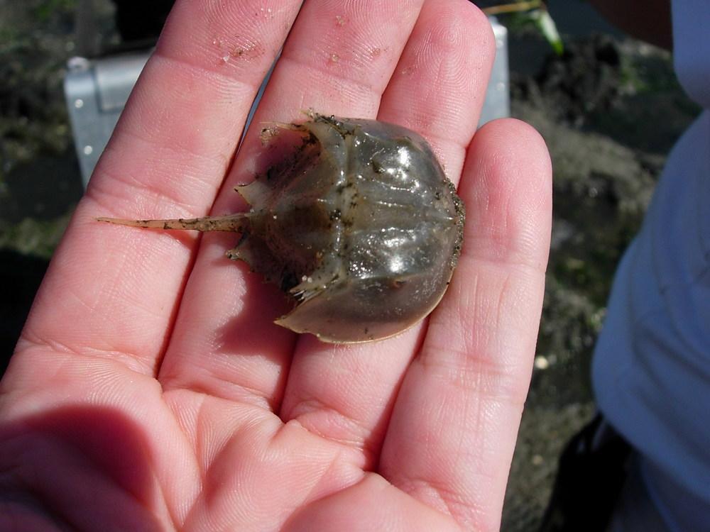 Horseshoe Crab Hatching Horseshoe Crab Juvenile