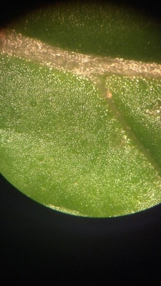 Oil glands in a mint leaf (Mentha sp.)