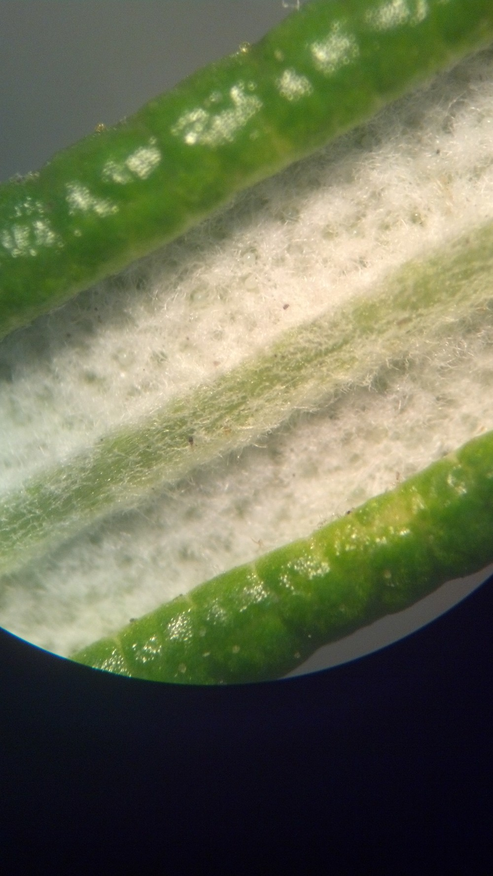 Oil glands and trichomes (hairs) on the underside of a rosemary leaf (Rosmarinus sp.)