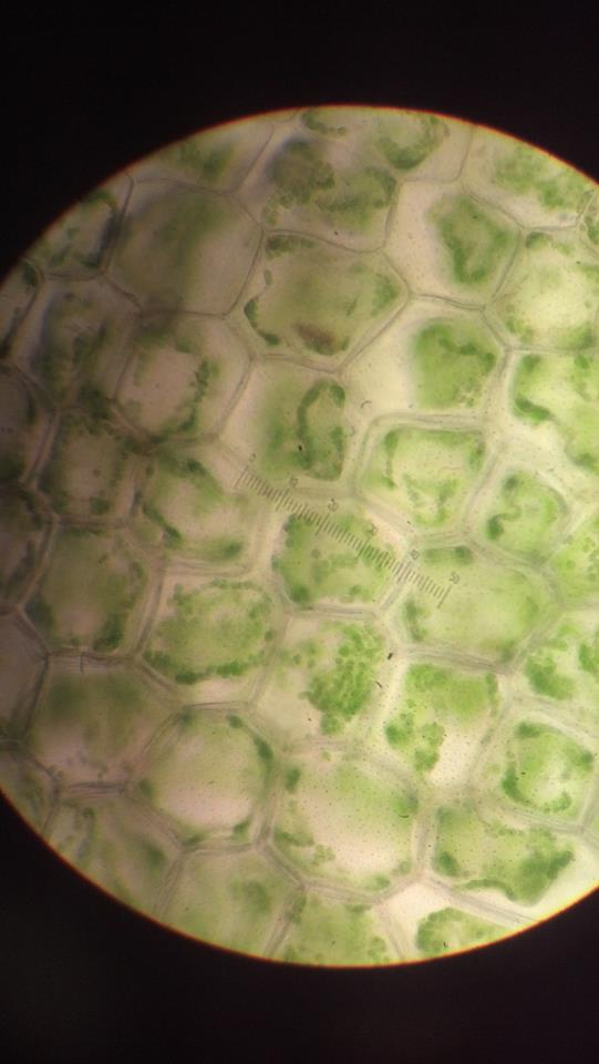 Classroom adventure - plant cells and pollen — Regina Alvarez
