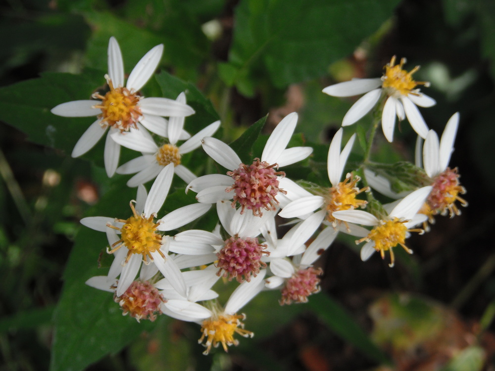 Eurybia divaricata  (Asteraceae) White wood-aster