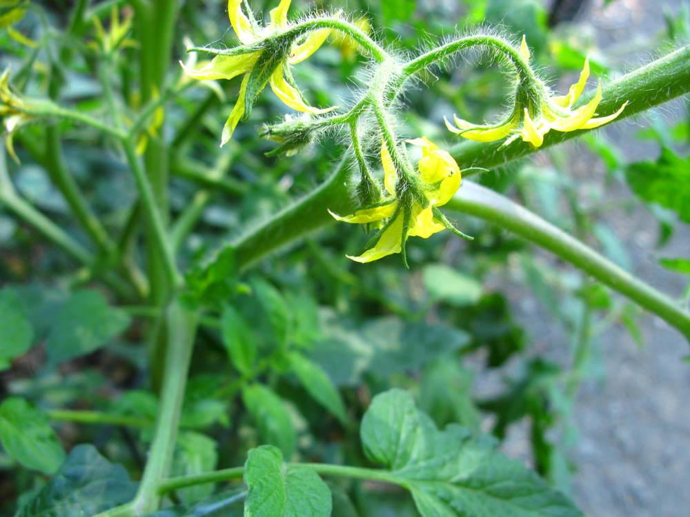 Solanum lycopersicum  , (Solanaceae) Tomato