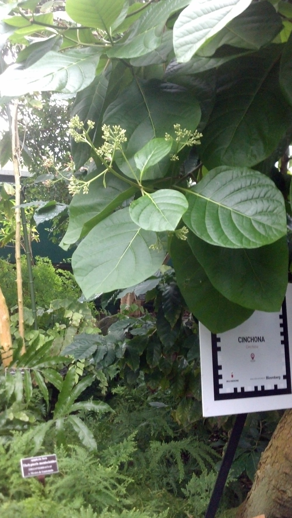 Cinchona sp. Rubiaceae Quina