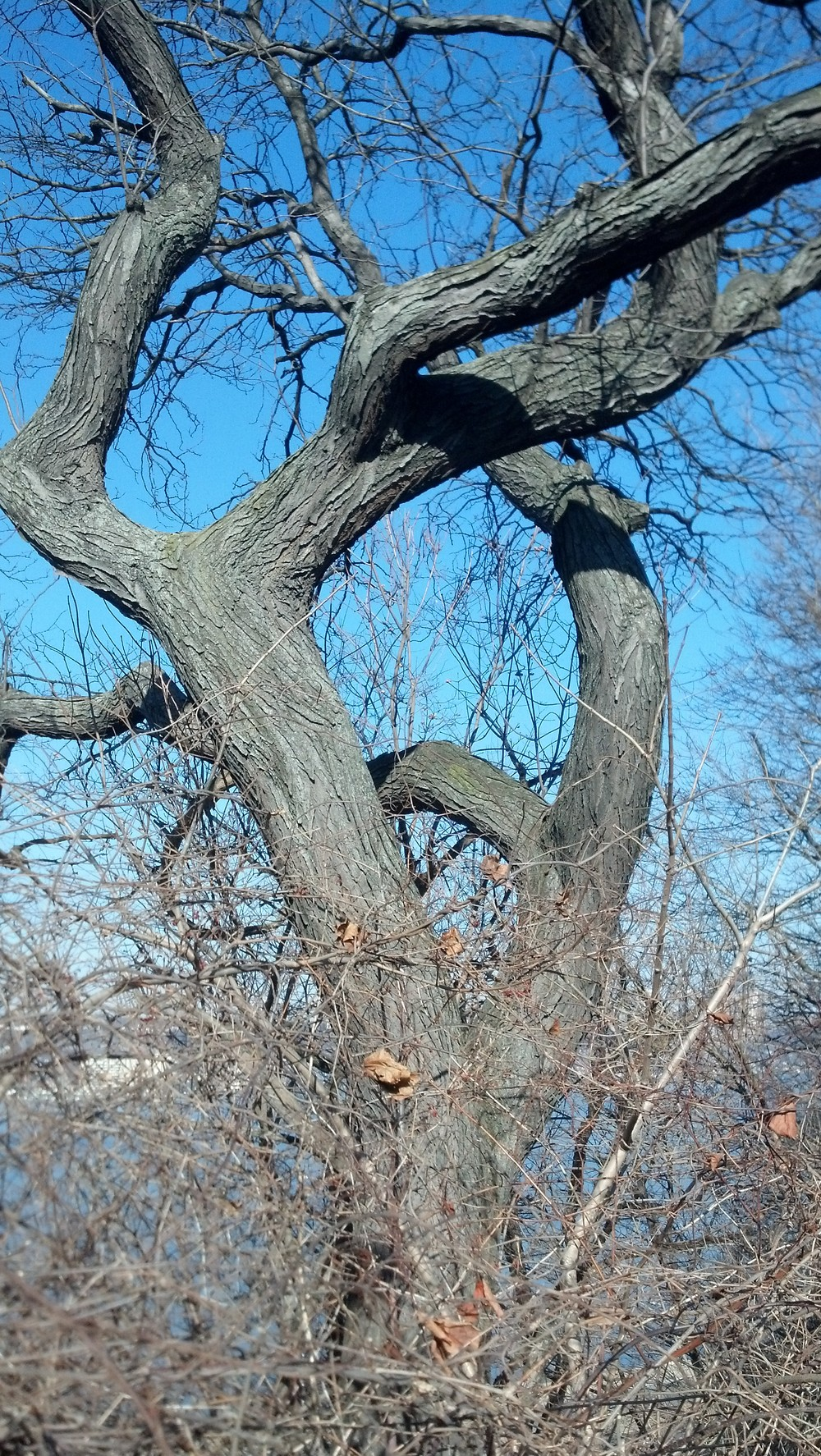 Honey locust habit