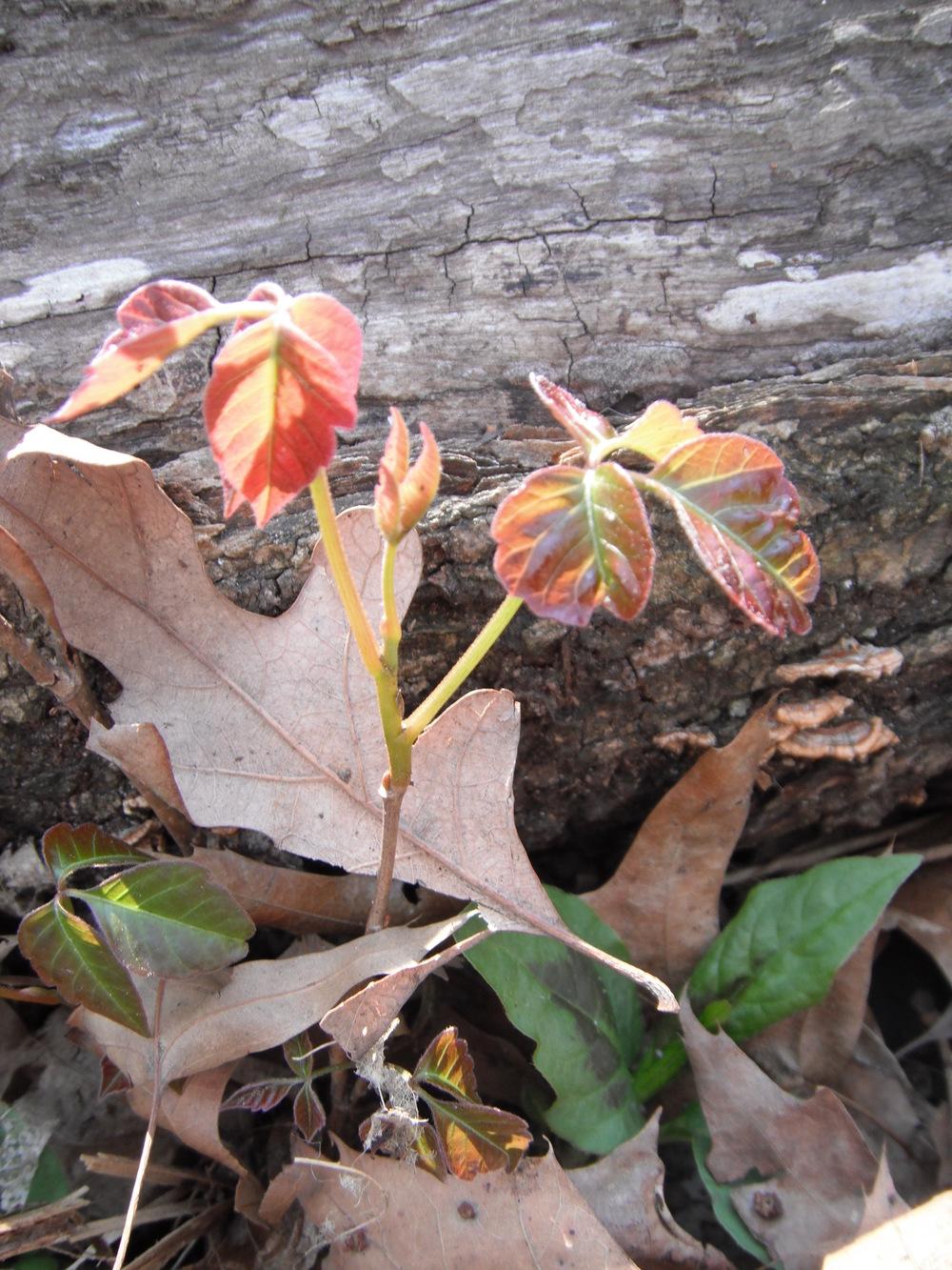 Toxicodendron radicans  Poison ivy Anacardiaceae