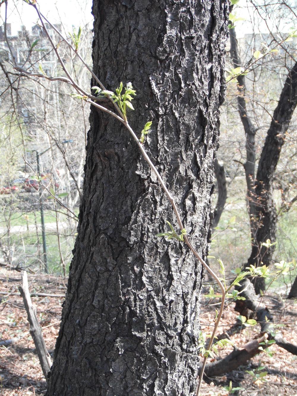 Prunus serotina Black cherry Rosaceae