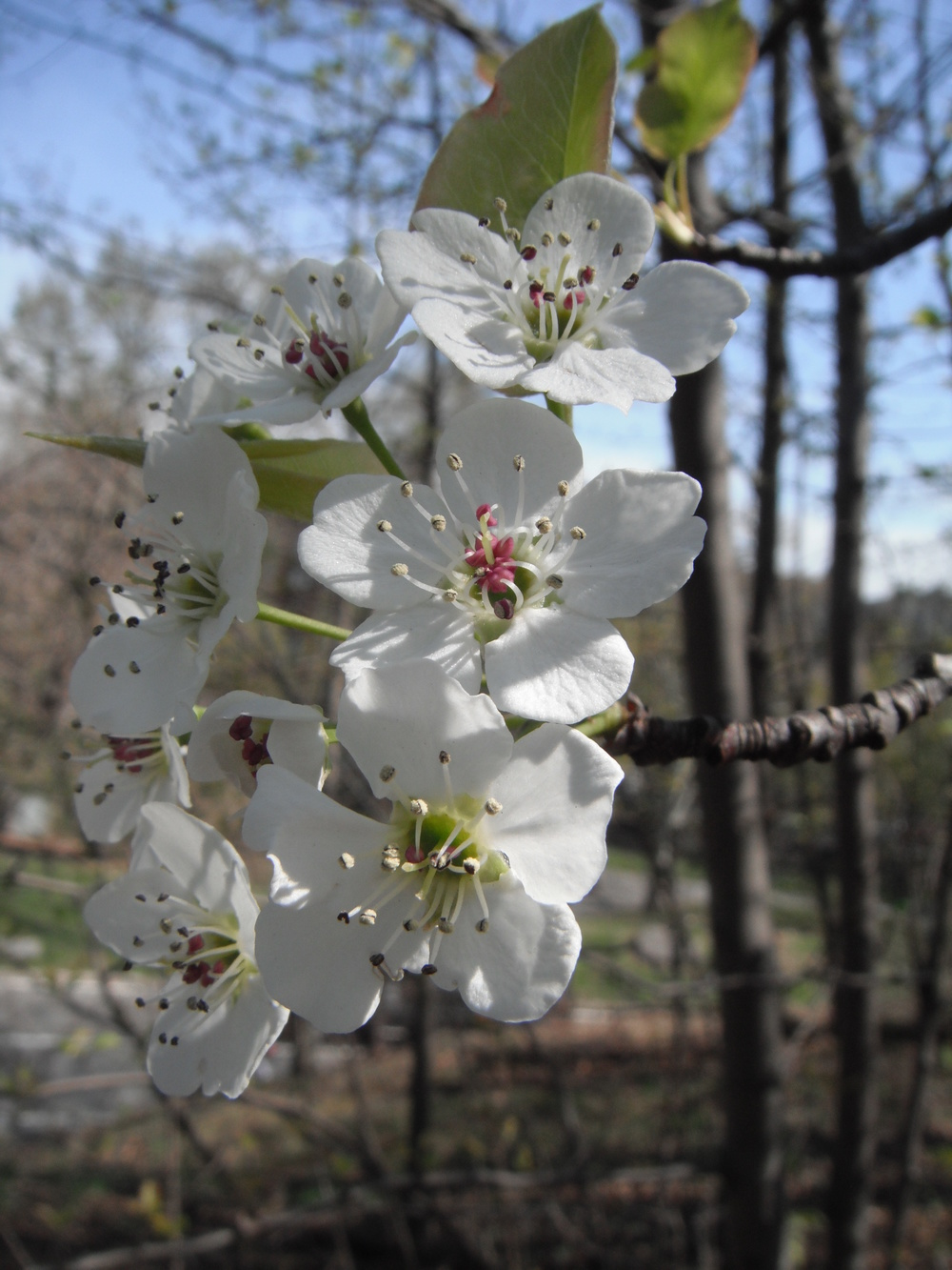 Pyrus calleryanaBradford pear Rosaceae