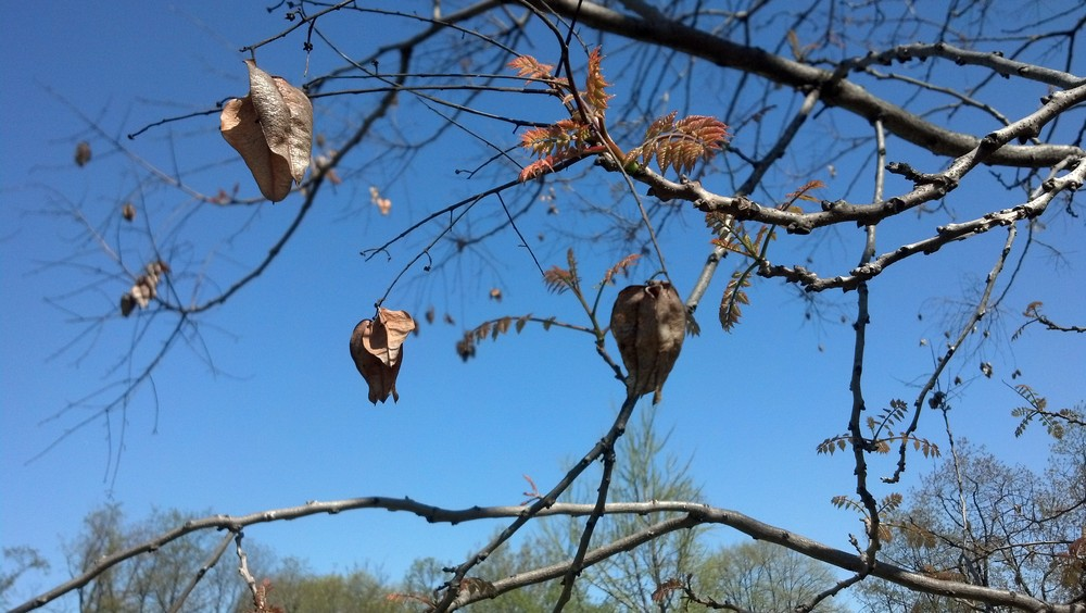 Koelreuteria paniculataSapindaceae Goldenrain tree - last season's fruit