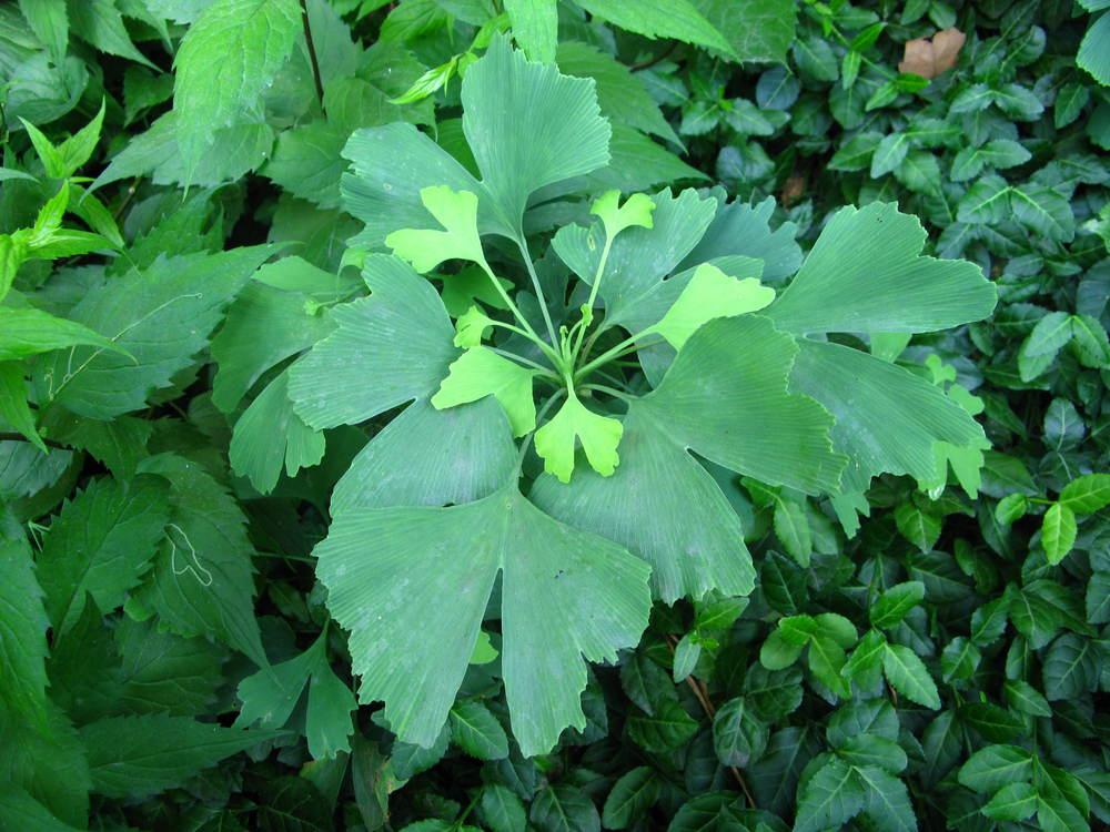 Ginkgo biloba Ginkgoaceae Maidenhair tree
