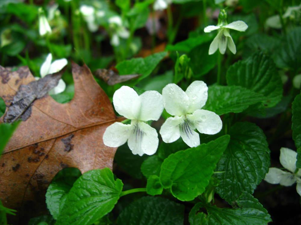 Viola striataViolaceae