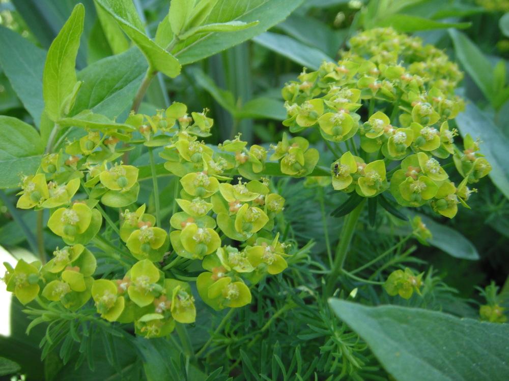 Euphorbia cyparissiasEuphorbiaceae