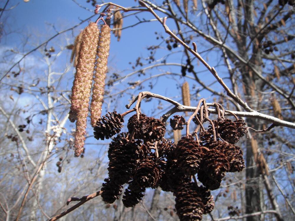 Alnus glutinosa Betulaceae