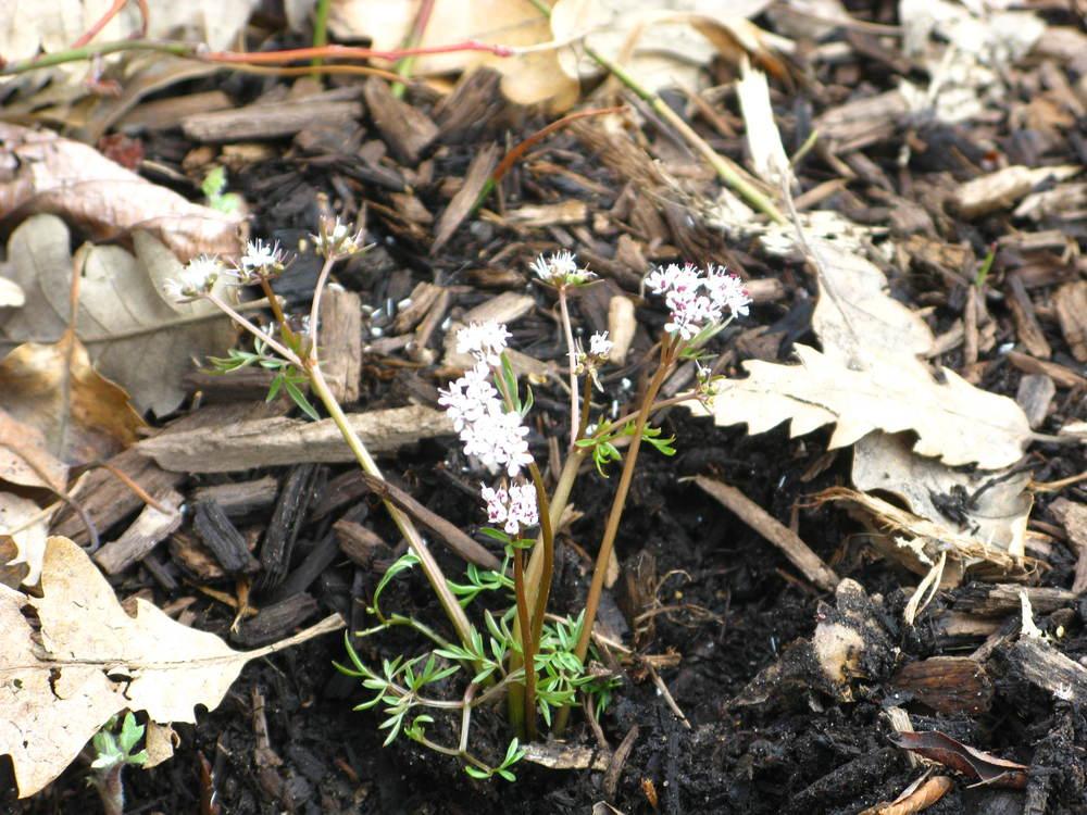 Erigenia bulbosa Apiaceae