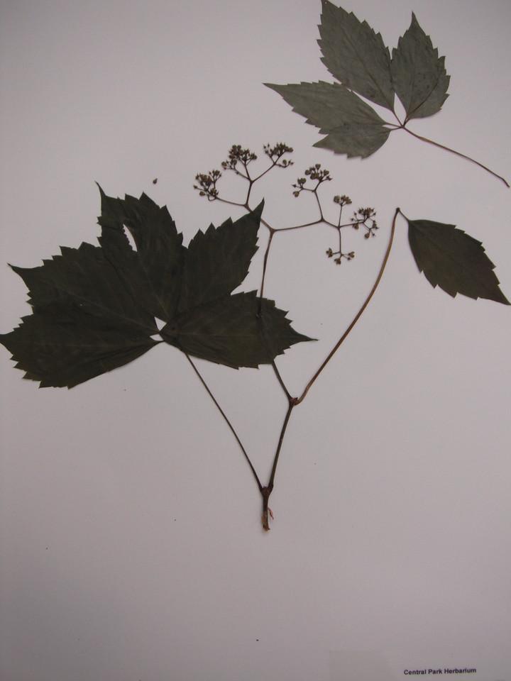 Parthenocissus insertaVitaceae; Central Park Conservancy Herbarium specimen