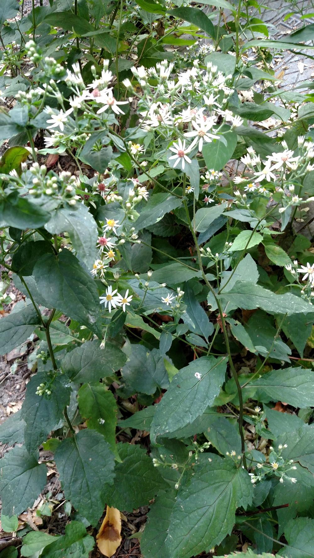 Eurybia divaricata  Asteraceae