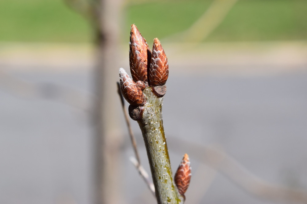 Quercus rubra  Fagaceae