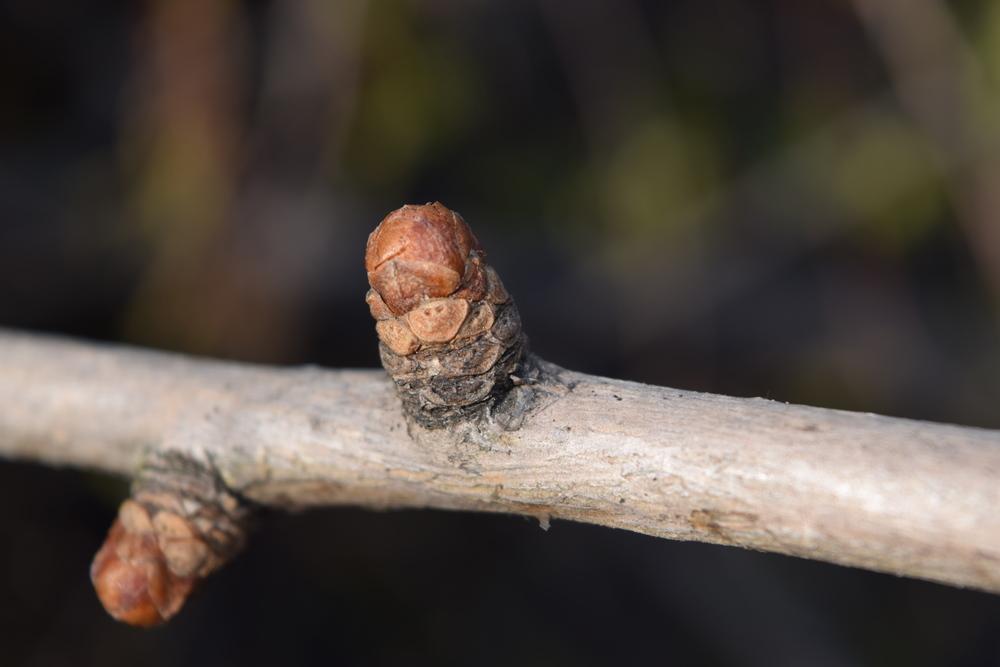 Ginkgo biloba  Ginkgoaceae