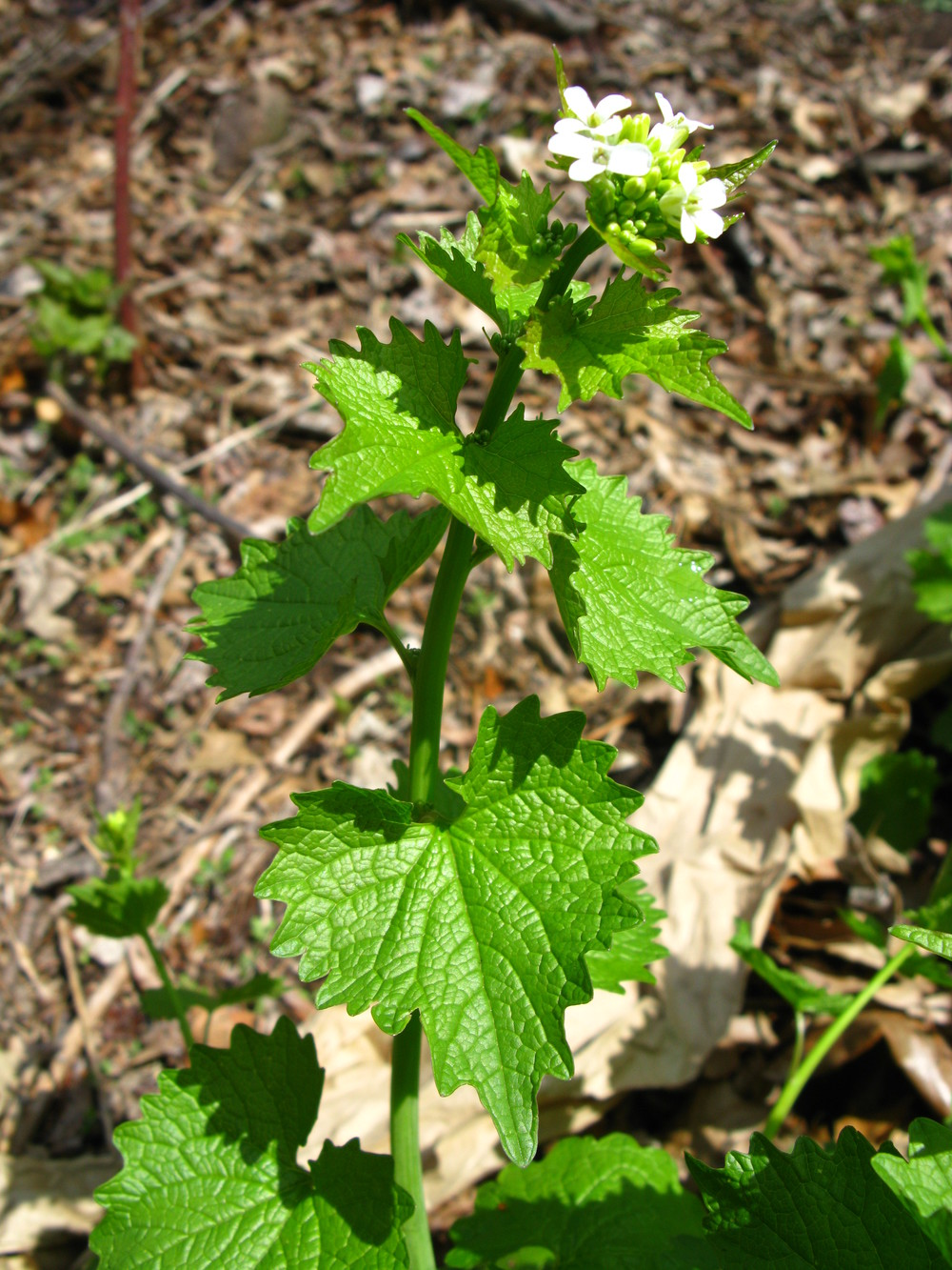 Alliaria petiolata  Garlic mustard