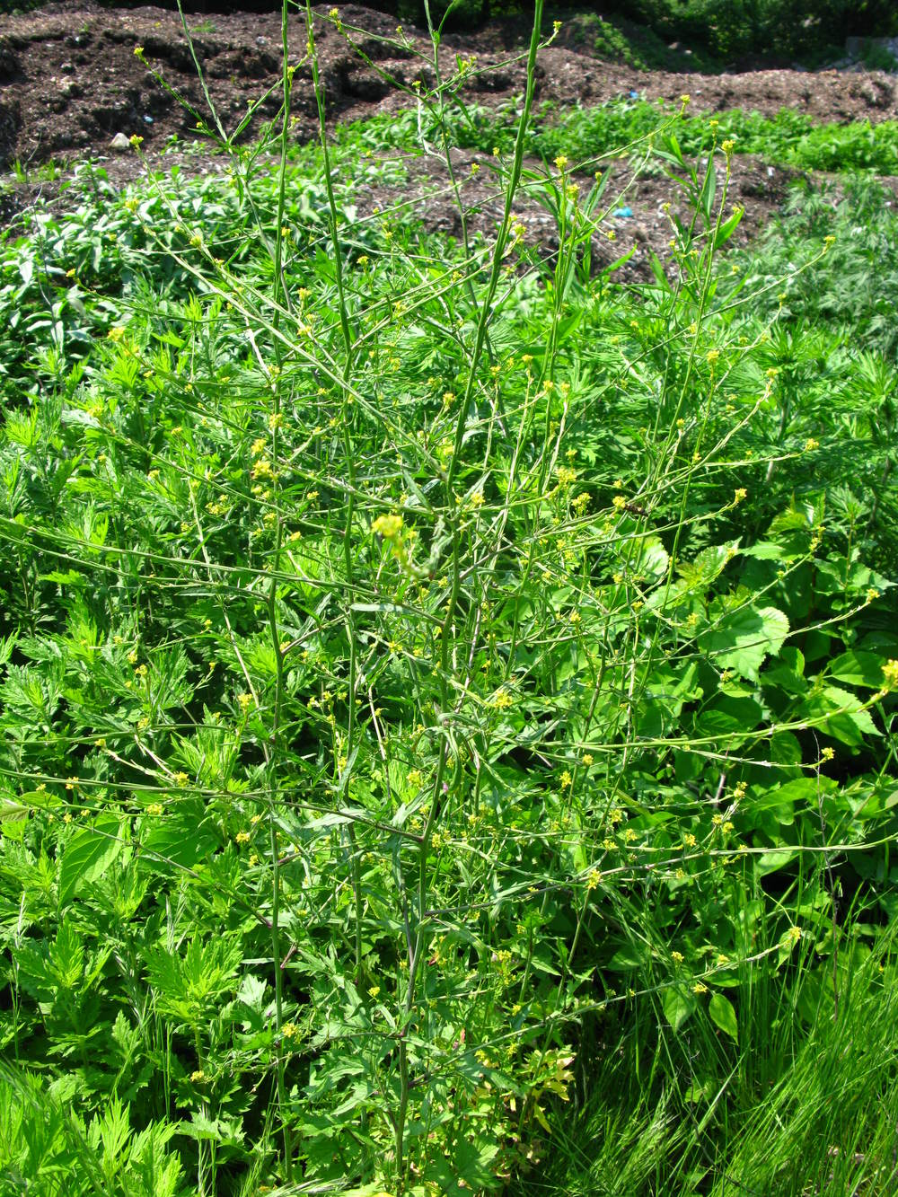Sisymbrium officinale  Hedge mustard