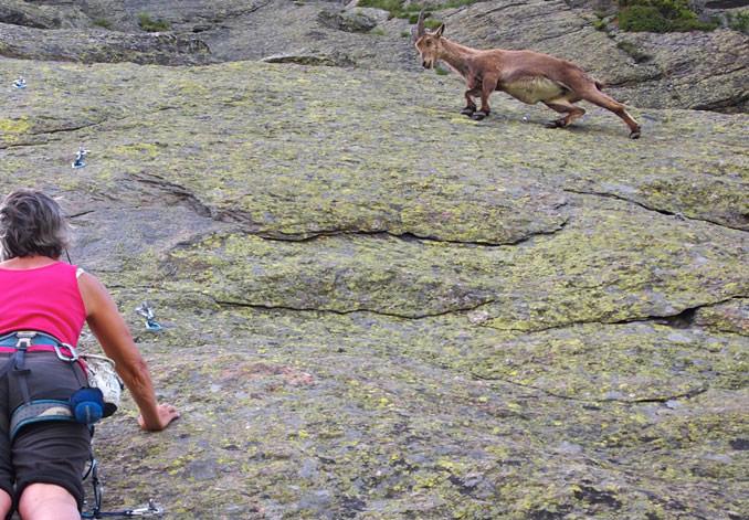 goat-rock-climbing-ibex.jpg