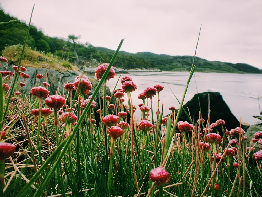 Pink flowers along the coast at Tierra del Fuego National Park