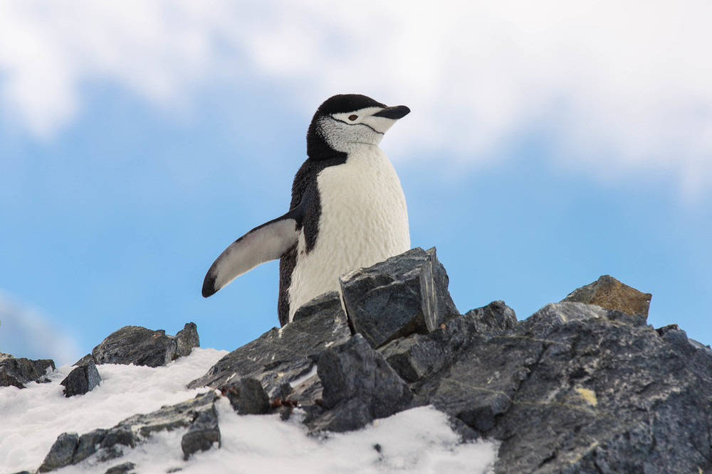 A proud chinstrap penguin overlooking his colony at Orne Harbor.