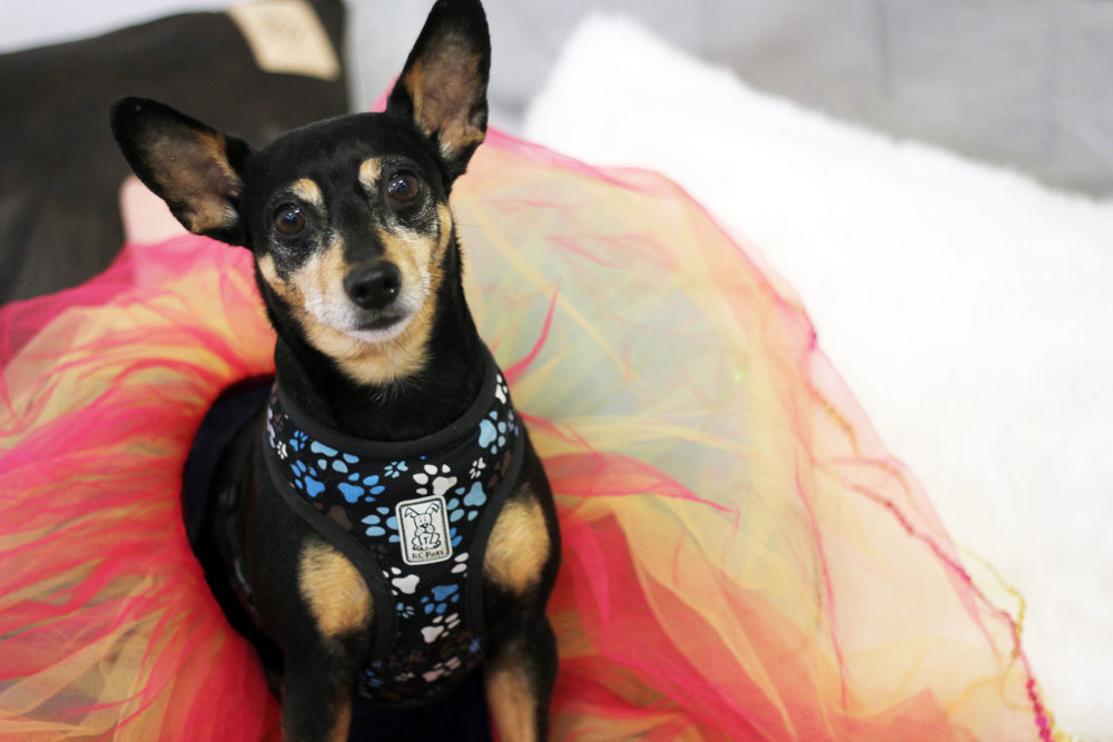 minpin for tutus
