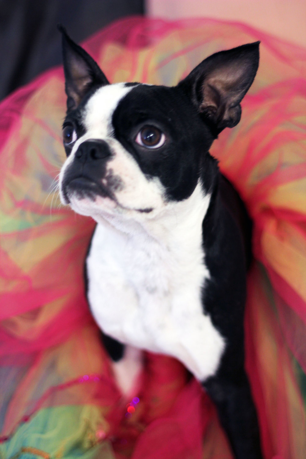 boston terrier tutu