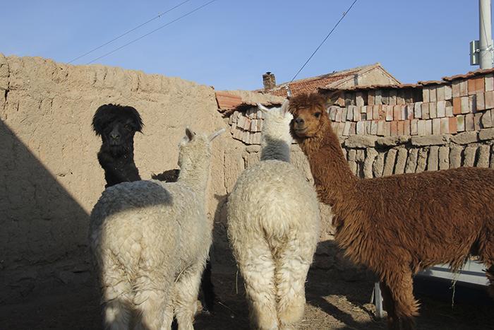 alpaca small.jpg