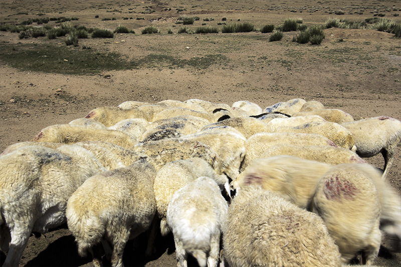 sheep pile.jpg