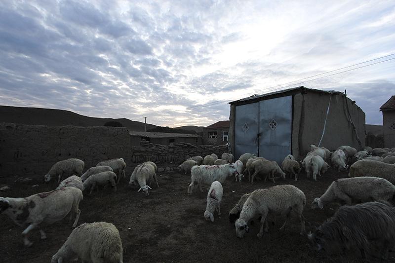 evening sheep.jpg