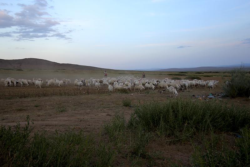 sheep come home.jpg