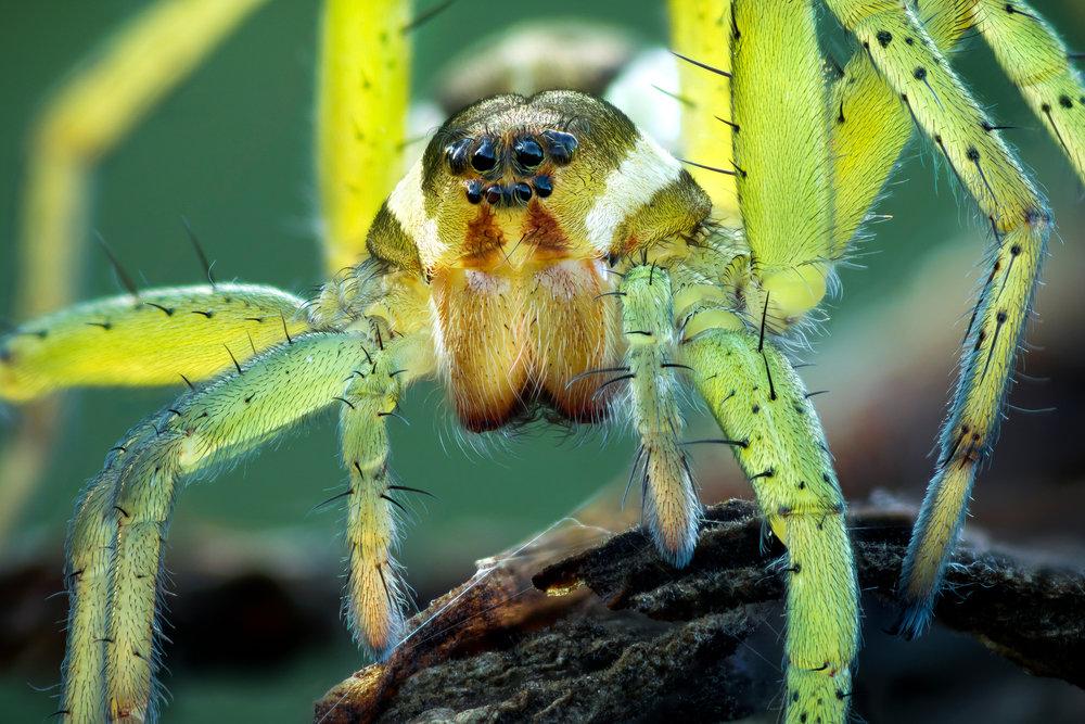 Juvenile Raft Spider