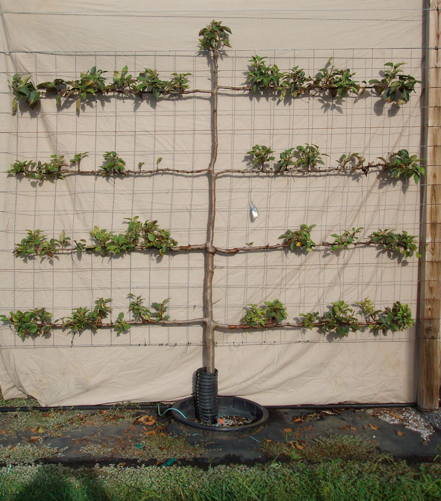 River Road Farms Espalier Tree Nursery