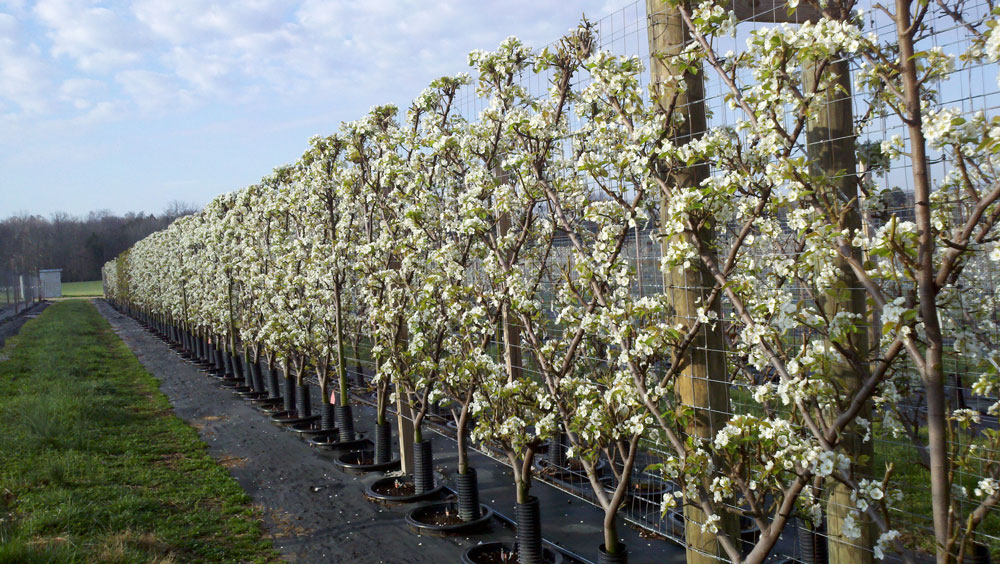 Belgian Fence espaliered trees in training at River Road Farms