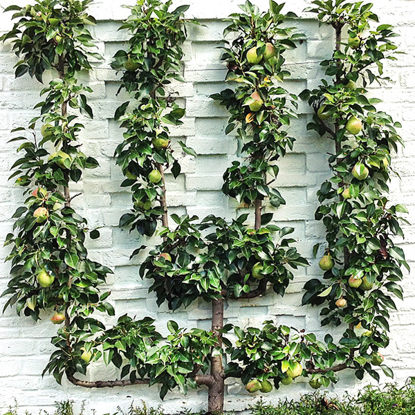 Small footprint, big impact.  Espaliered trees require minimal space, which makes them perfect to dress up a small space, rooftop garden, or wall.