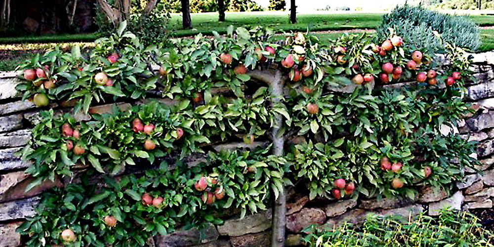 3-tier horizontal cordon apple tree