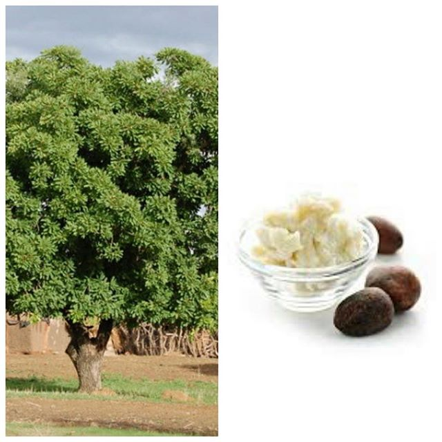 Unrefined shea butter Did you know that the Shea Tree is also called the butter tree? The Shea Butter extracted from the nuts delivers a wealth of nurturing benefits, and has been used for centuries in a variety of body treatments. Unusually rich with fatty acids, it is the remedy of choice for dry, damaged skin. Unrefined Shea Butter can be found in the Tiossan Body Cream, Body Lotion, Body Polish, Bar Soap and Body Wash.  #tiossan #sheabutter #sheanut #bodylotion #bodyscrub #bodywash #barsoap #senegal #greenbeauty #dryskin #eczema #sensitiveskin #treehugger