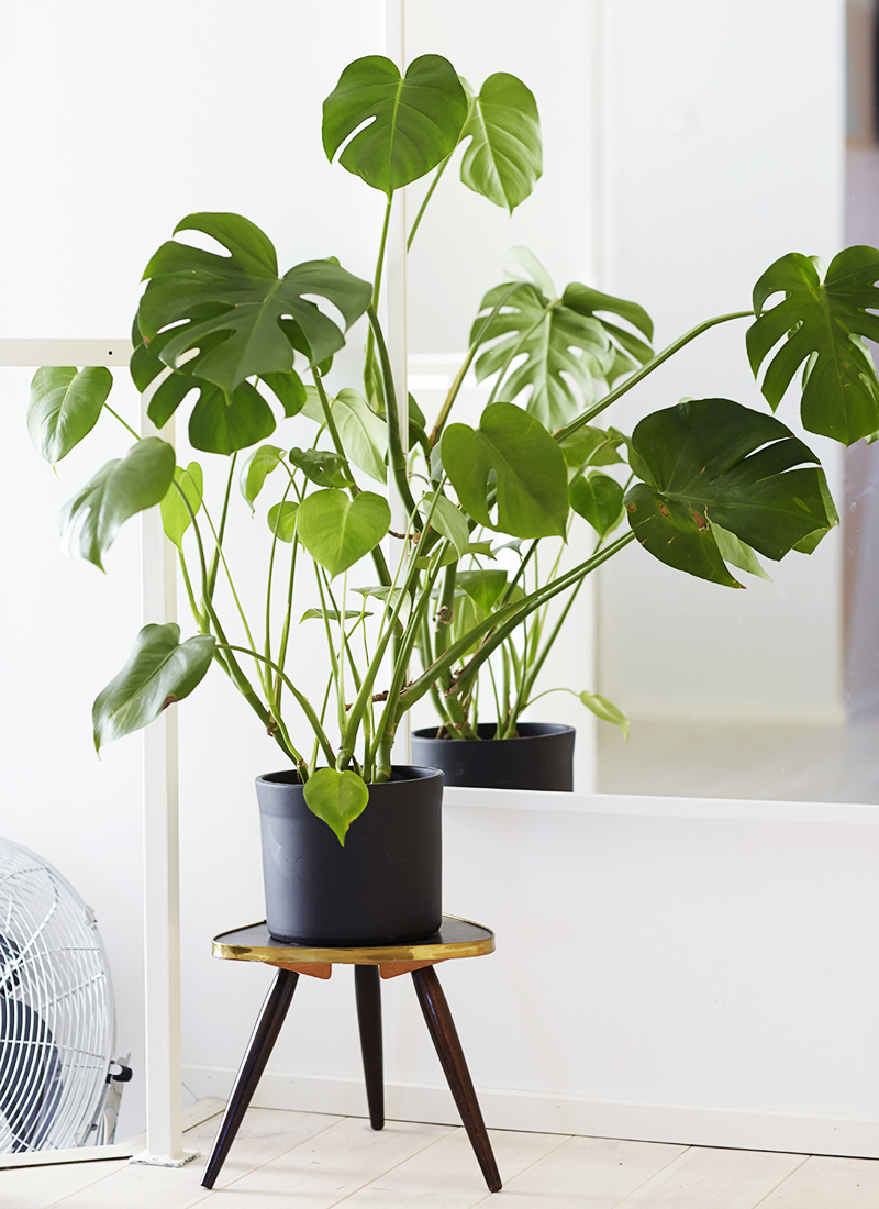 An oversized Split Leaf Philodendron adds lots of green to any space.  Image Source: Pop Sugar
