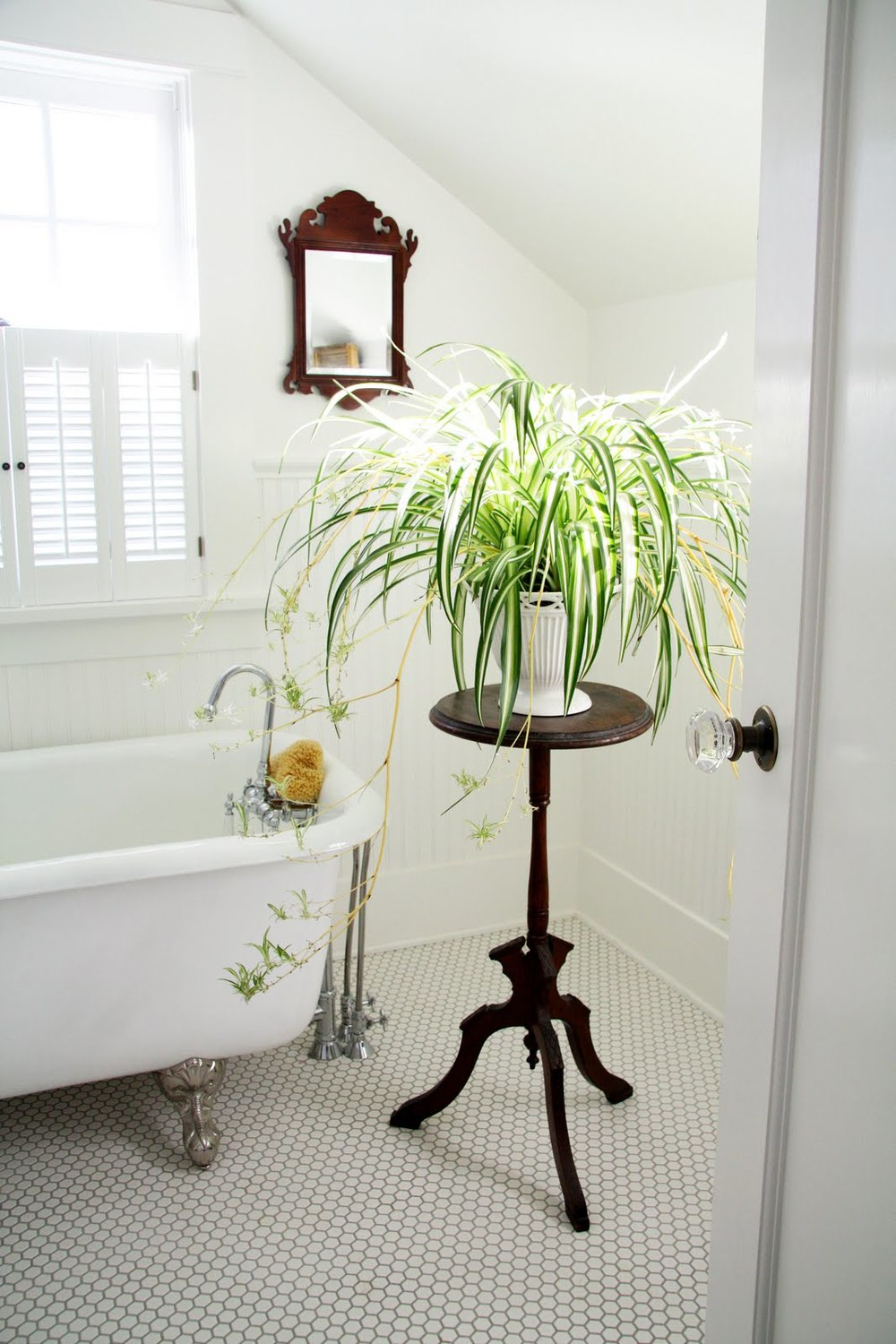 A blooming spider plant thrives in bathroom humidity. Image Source: Homedit.com