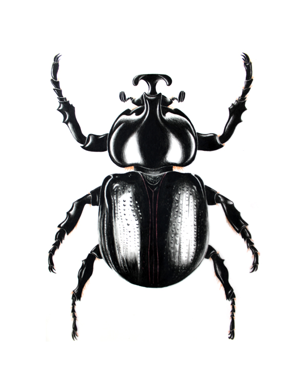 Rhino Beetle - Cyphonistes vallatusDynastinae or rhinoceros beetles are a subfamily of the scarab beetle family (Scarabaeidae). Other common names – some for particular groups of rhinoceros beetles – are for example Hercules beetles, unicorn beetles or horn beetles.original, 8x10