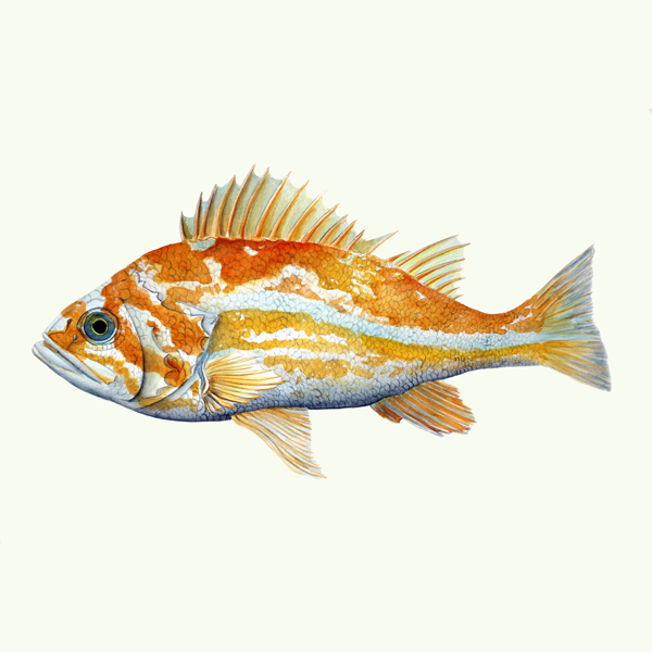 Canary Rockfish - Sebastes pinnigerThe canary rockfish is a rockfish of the northeast Pacific Ocean, found from south of Shelikof Strait in the eastern Gulf of Alaska to Punta Colnett in northern Baja California.original, 12x7