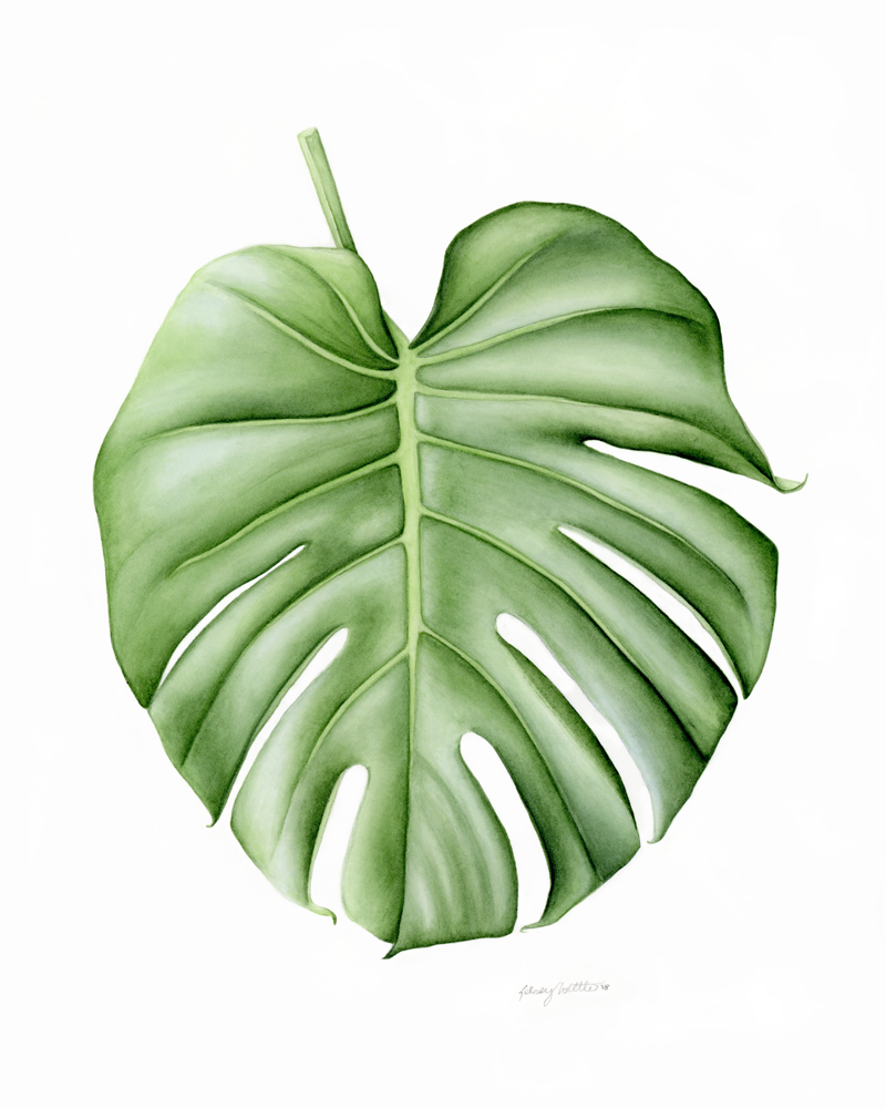Split Leaf Philodendron - Monstera deliciosaNamed from the Latin word for