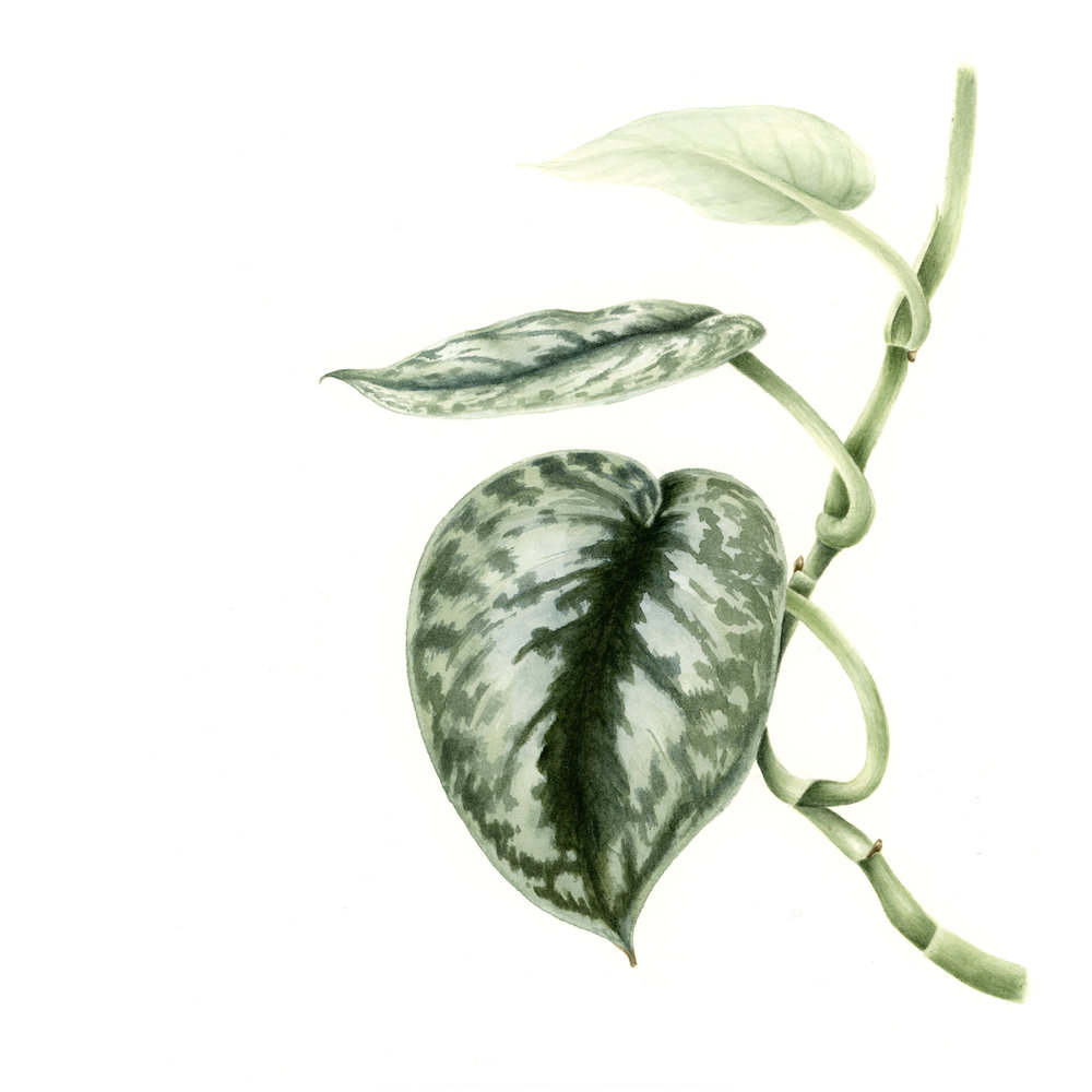 Silver or Satin Pothos - Scindapsus pictusThe specific epithet pictus means