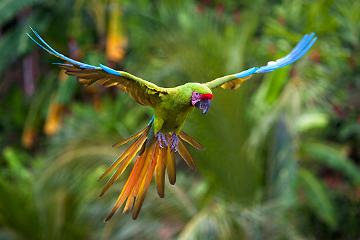 Military Macaw -